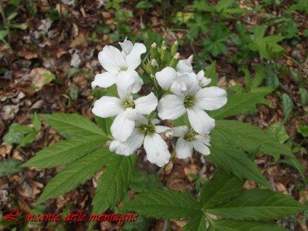 Cardamine heptaphylla (Vill.) O.E. Schulz