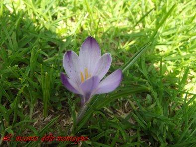 Crocus vernus (L.) Hill.