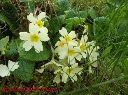 Primula vulgaris Hudson