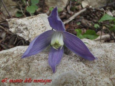 Clematis alpina (L.) Mill.