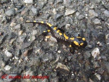 Salamandra salamandra, Linnaeus 1758