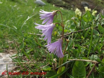Soldanella alpina L.