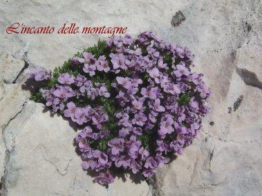 Petrocallis pyrenaica (L.) R. Br.