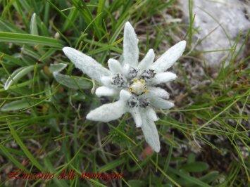 Leontopodium alpinum Cass