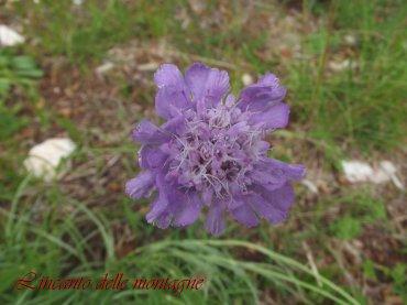 Lomelosia graminifolia (L.) Greuter & Burdet