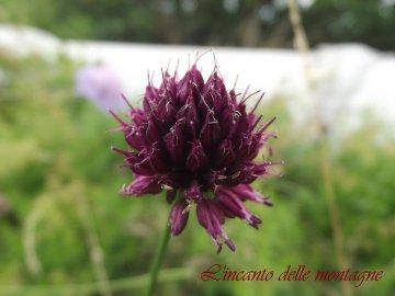 Allium sphaerocephalon L