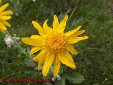 Arnica montana L.