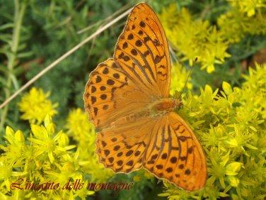 Argynnis paphia (Linnaeus, 1758) Maschio