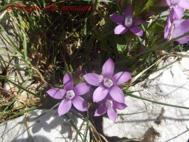 Gentianella germanica (Willd.) E.F. Warb.