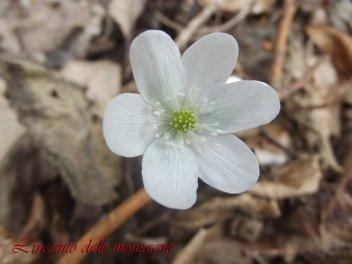 Hepatica nobilis Schreb. 1771