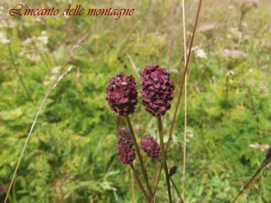 Sanguisorba officinalis L.