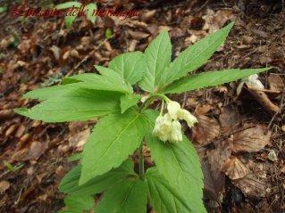 Cardamine enneaphyllos (L.) Crantz