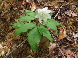 Anemonoides trifolia (L.) Holub