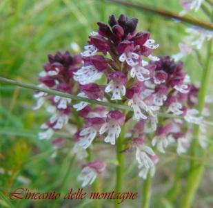 Neotinea ustulata (L.) R.M. Bateman, Pridgeon & M.W. Chase