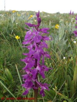 orchide maschia (Orchis mascula (L.)