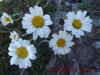 Leucanthemopsis alpina (L.) Heywood